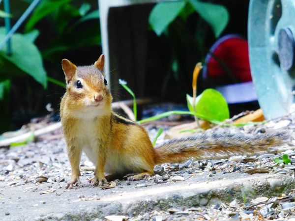 Sentry. Animal Themes One Animal Animals In The Wild Squirrel Mammal Animal Wildlife Nature No People Outdoors Day Close-up Pets Tail Outdoor Photography Nature Beauty In Nature Chipmunk Photography Chipmunk Close-up