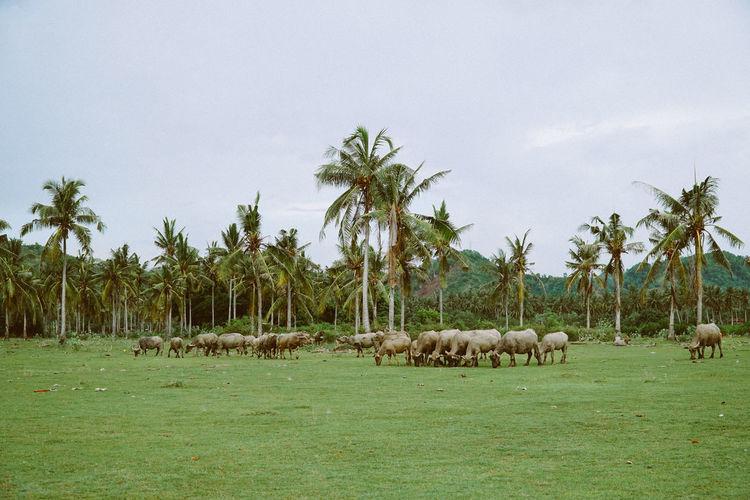 Cows graze on