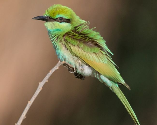 Juvenile Green Bee-eater Animal Wildlife One Animal Bird Tropical Climate Perching Animals In The Wild Animal Nature Green Color No People Outdoors Tree Beauty In Nature Bird Photos Birds🐦⛅ Beauty In Nature
