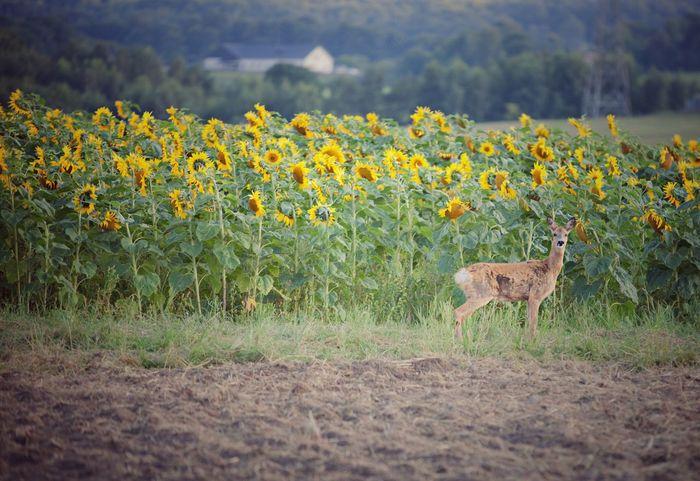Beauty In Nature Sunflowers Yellow Yellow Flowers Flowers Deer Sunflowers Field
