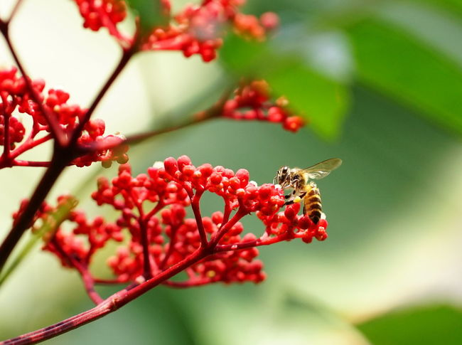 Animals In The Wild Beauty In Nature Bee Close-up Flower Focus On Foreground Honey Bee Nectar One Animal Plant Pollen Pollen On Flowers Pollination Red Red Flowers