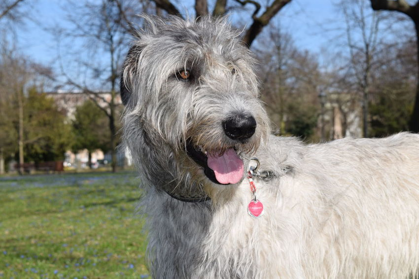 One Animal Animal Themes Dog Outdoors Close-up The Place ı've Been Today Sunlight Spring Is In The Air Springtime A Walk In The Park March 2017 Spring 2017 Blue How Is The Weather Today? Cearnaigh Irish Wolfhound Dogslife Dogs Of EyeEm Dog Of The Day Dogwalk Dogs Of Spring