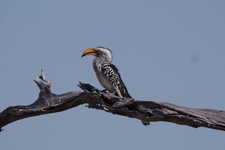 Low angle view of hornbill perching on branch