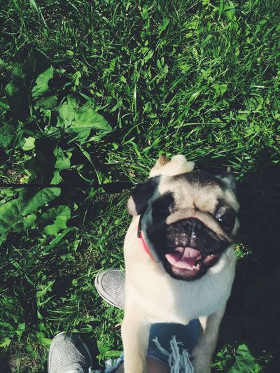 Pets Animal Themes pugs