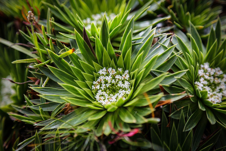 Beauty In Nature Close-up Day Ecuador Flower Flower Head Fragility Freshness Green Color Growth Leaf Nature No People Outdoors Plant