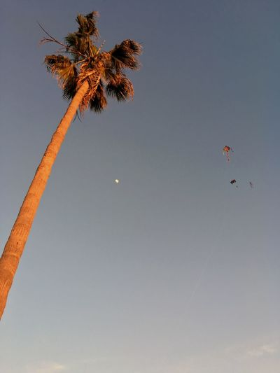 Palm trees, kites, and the moon oh my!! Daytime Moon Kite Flying EyeEm Selects Low Angle View Tree Palm Tree Beauty In Nature Nature Outdoors