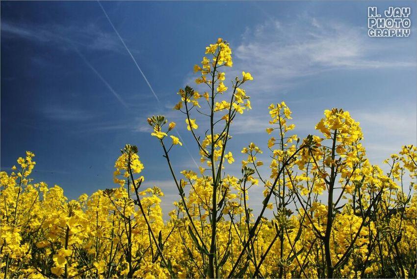 Rapeseed Blue Sky Yellow Flower Flowerporn Nature Countryside Springtime Plants Eye4photography  Sky