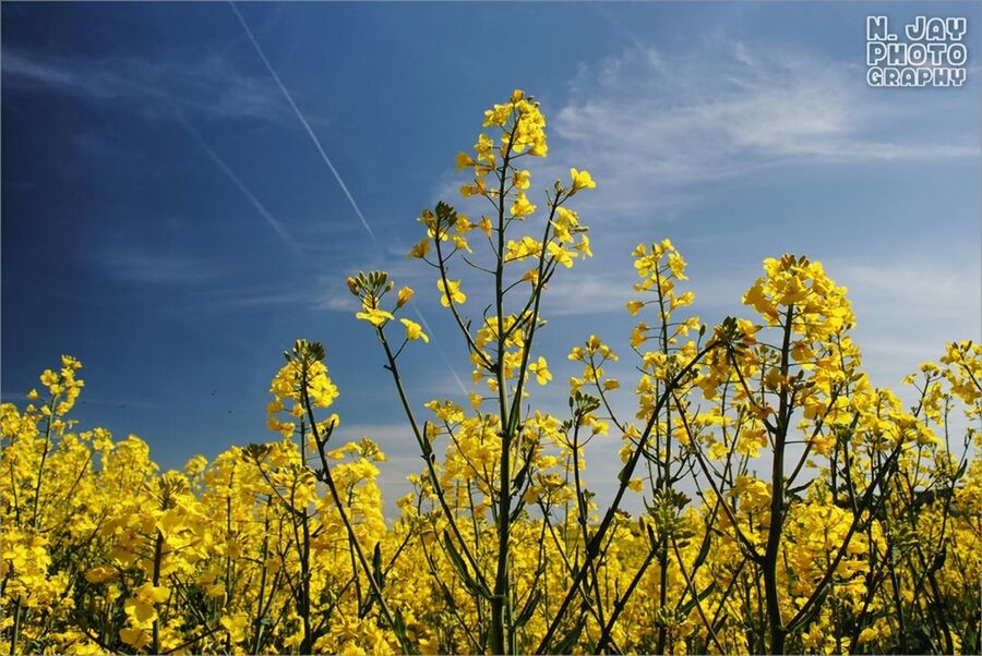 Rapeseed Blue Sky Yellow Flower Flowerporn Nature Countryside Springtime Plants Eye4photography  Sky