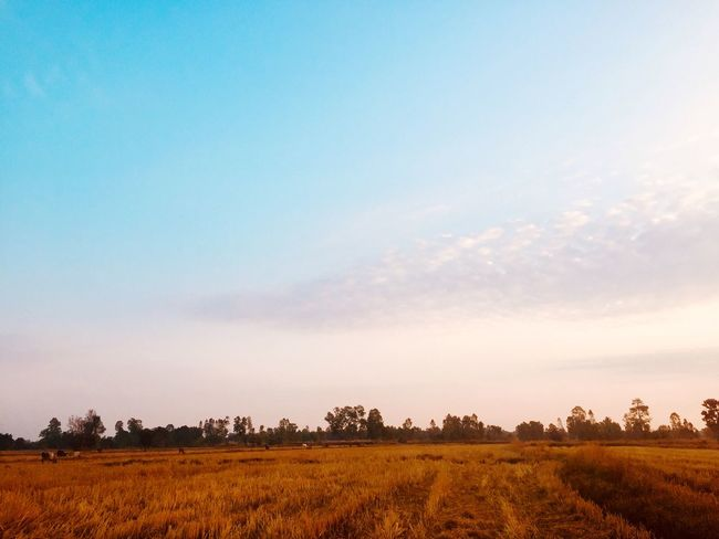 Beautiful Sunset, Sunlight, Sunrise and treescape in the morning. Field Landscape Agriculture Tranquility Nature Tranquil Scene Beauty In Nature Sky Scenics Rural Scene No People Outdoors Day Growth Tree