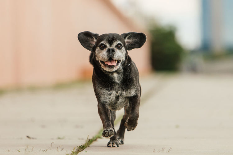 Running black and white dog with flying ears and tongue and city skyline in the back City Life Dog Running Fun Medium-sized Dog Pet Photography  Running Animal Animal Photography Black And White Dog City Dog Dog In Action Dog Life Dog Portrait Flying Ears Outdoors Pet Puggle Smiling Tongue