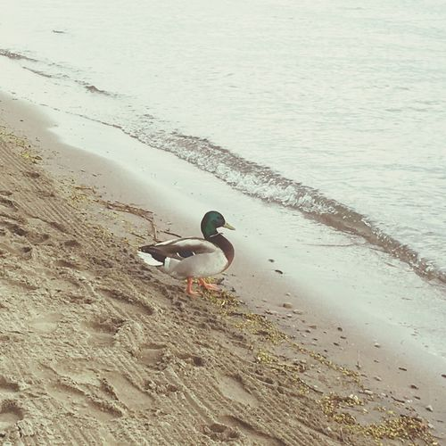 Animals In The Wild Animal Themes Bird Animal Wildlife Water One Animal Nature Day High Angle View No People Swimming Outdoors Sand Beach Beauty In Nature Goose