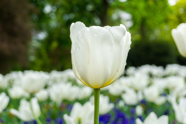 White Tulips in Sunlight Background Beautiful Beauty Blooming Day Flower Head Flowers Freshness Green Growing Growth Morning Light Nature No People Outdoor Petals Smelling Sunlight Sunshine Tulips Tulips Flowers White Flowers White Tulips