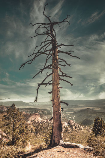 Dead tree on a cliff at the bryce canyon, utah
