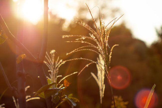 Eye4photography  Beautiful Nature ご近所散歩 Super Takumar Oldlens Olympus Olympus Om-d E-m10 Sunshine Sun Japan EyeEm EyeEm Selects Flower Agriculture Sunlight Rural Scene Lens Flare Close-up Sky Plant Sunset Sunbeam Solar Flare