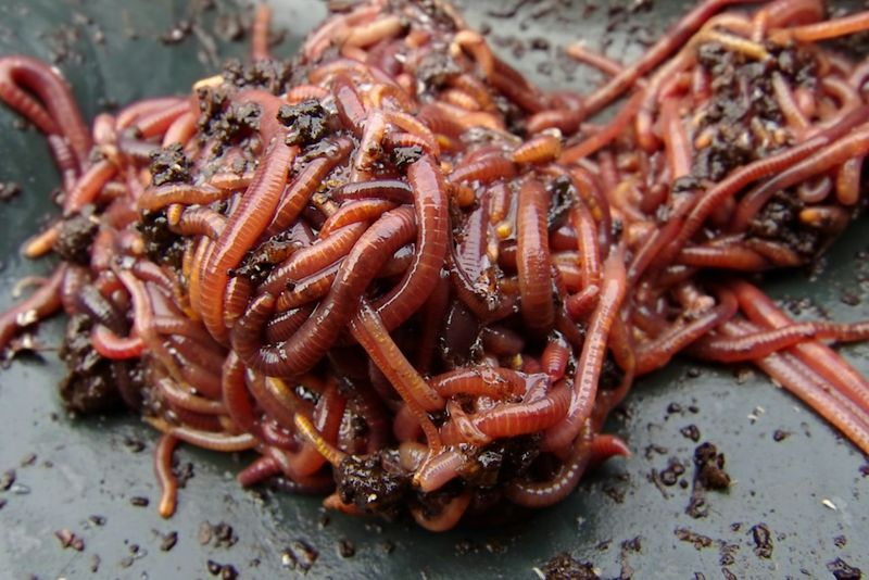 A clump of juicy Earthworms Worms
