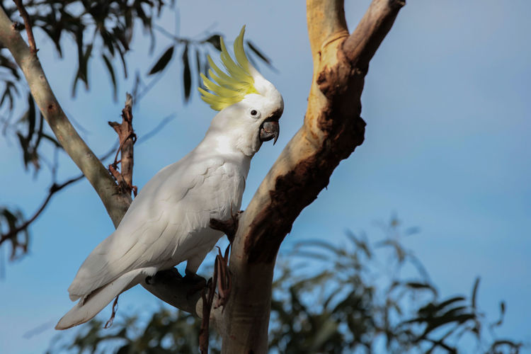 Animal Animal Themes Animal Wildlife Animals In The Wild Beauty In Nature Bird Blue Sky Branch Cockatoo Day Focus On Foreground Nature Parrot Plant Sky Tree White Color