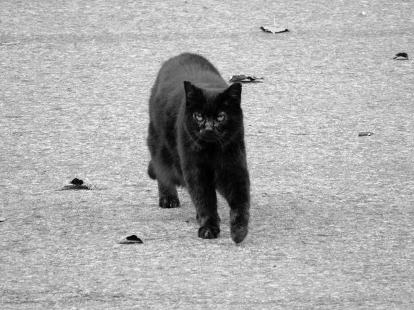 Noisette la coquette! Cats Blackandwhite Black & White Monochrome From My Point Of View Black Cat Eyeem Monochrome Shades Of Grey