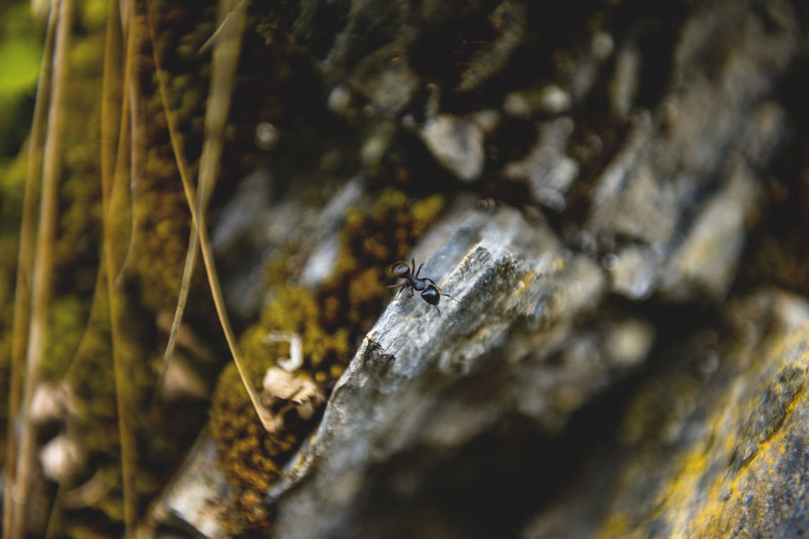Botanical series: Micrology Alpine Green Micro Nature Niphotrichum Plants Polytrichastrum Alpinum Polytrichum Racomitrium Zackenmuetzen-Moos Alps Ameise Ant Botanical Close-up Flowers Macro Micrology Mini Moos Moss Mountain Plants Selective Focus Stonecrop