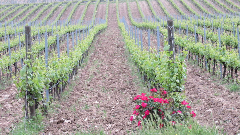 Abruzzo - Italy Agriculture Beauty In Nature Cultivation Diminishing Perspective Landscape Rose - Flower Rural Scene Scenics The Way Forward Vine Vineyard