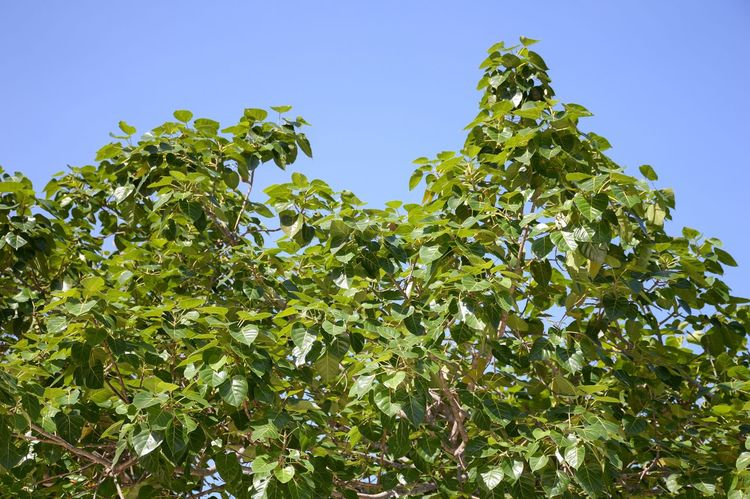 Bohhi Beauty In Nature Branch Clear Sky Close-up Day Evergreen Ficus Religiosa Foliage Freshness Fruit Green Color Growth Leaf Leaves Low Angle View Nature No People Outdoors Peepul Pipal Tree Plant Sacred Fig Tree Sky Tree