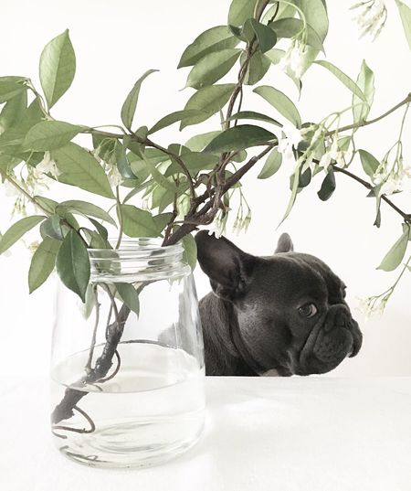 Plant In Jar On Table By French Bulldog