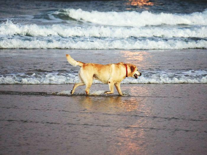 Labrador retriever running in shallow water at beach