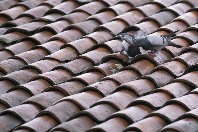 A pigeon feeds