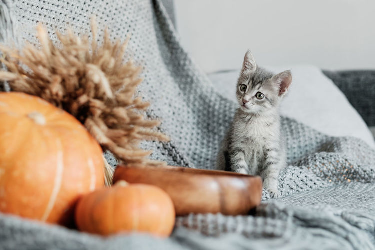 Halloween pumpkin and curious gray kitten on a gray background. Pets Domestic Domestic Animals Domestic Cat Cat Animal Themes Mammal One Animal Feline Animal Vertebrate No People Selective Focus Looking At Camera Portrait Kitten Looking Food And Drink Whisker Decoration Halloween Autumn Home Sweater Comfort