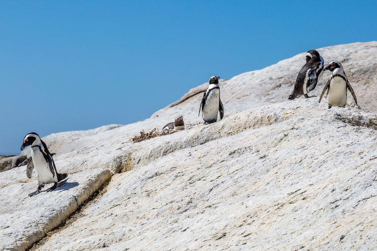 Birds perching on rock against clear blue sky