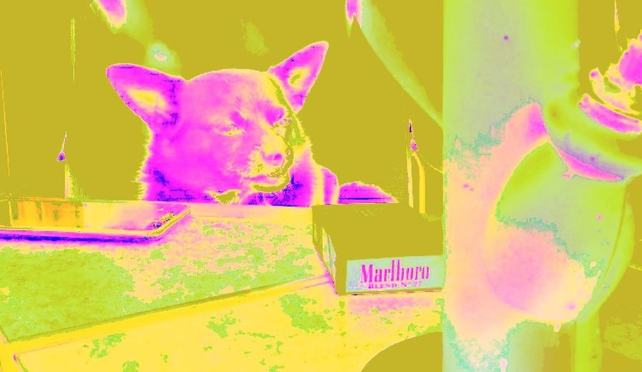 Colour Blind Dog❤ Dogoftheday Dogmodel Gizmo Colours Colour Photography Colour Splash Colour Contrast Trippy Edits Marboro Retro Style Retro Colors Holi Painted Image Powder Paint Paint Abstract Close-up Multiple Exposure Saturated Color