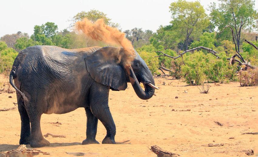 Elephant Animal Animal Themes Mammal Animal Wildlife One Animal Animals In The Wild Safari Animal Trunk Animal Body Part Environment Herbivorous Outdoors African Elephant Dust Bath Dusting Animal Behaviour Wildlife & Nature Wildlife Photography