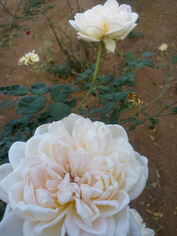 Roses Flowers  To All Beautiful Friends Always Smile Enjoy Life Relax :) Keep Smiling Through All Odds In Life :) At My Farm Have A Nice Evening ♡ From India With Love...