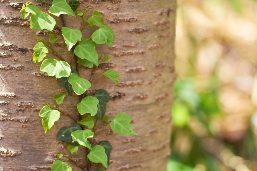 Growth Plant Leaf Plant Part Green Color Nature Close-up No People Tree Trunk Beauty In Nature Outdoors Tree Ivy Textured  Selective Focus Wall - Building Feature Land Day Focus On Foreground Trunk