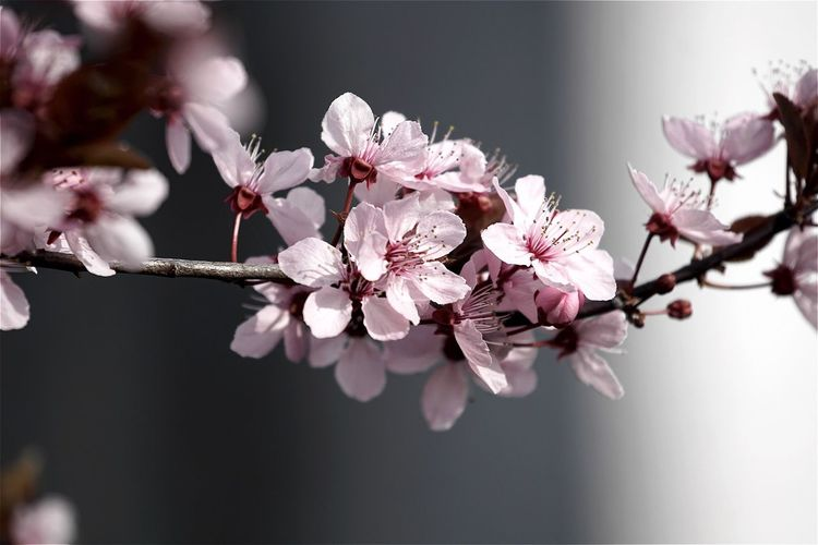 Close-Up Of Plum Blossom