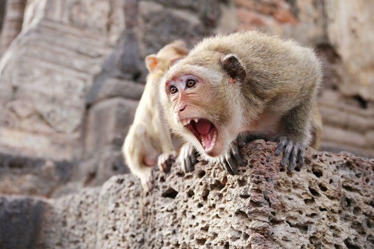 monkey Animal Monkey