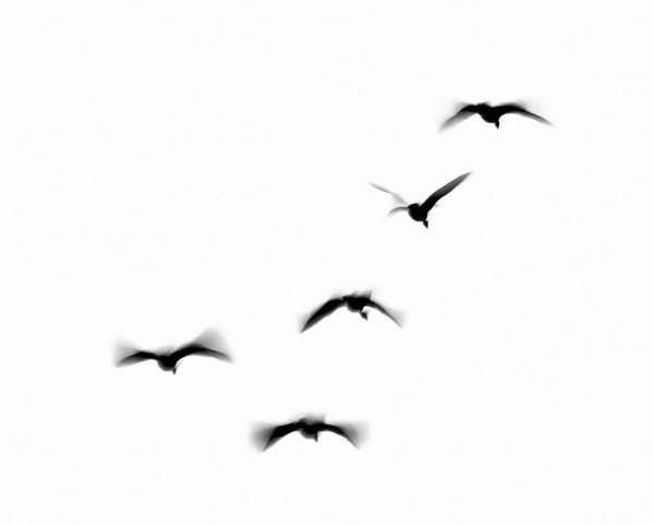 Shades Of Grey flying ducks Taking Photos Eyeem Black And White Stockphoto Solid Background Pattern, Texture, Shape And Form Beautiful Nature Blackandwhite Photography Market Bestsellers June 2016 Market Bestsellers August 2016 Bestsellers
