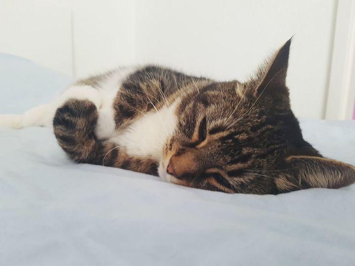 Dreamy Cat Pets