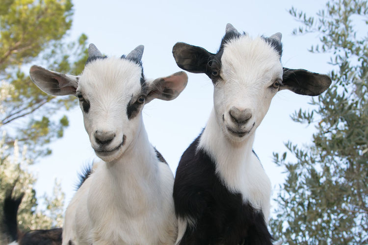 Portrait of beautiful baby dwarf goats Baby Brother Farm Farm Life Goats Nature Sister Animal Animal Head  Animal Themes Black And White Close-up Domestic Group Of Animals Herbivorous Livestock Looking At Camera Mammal Nature Pets Portrait Tibetan Goats Two Animals Vertebrate White Color