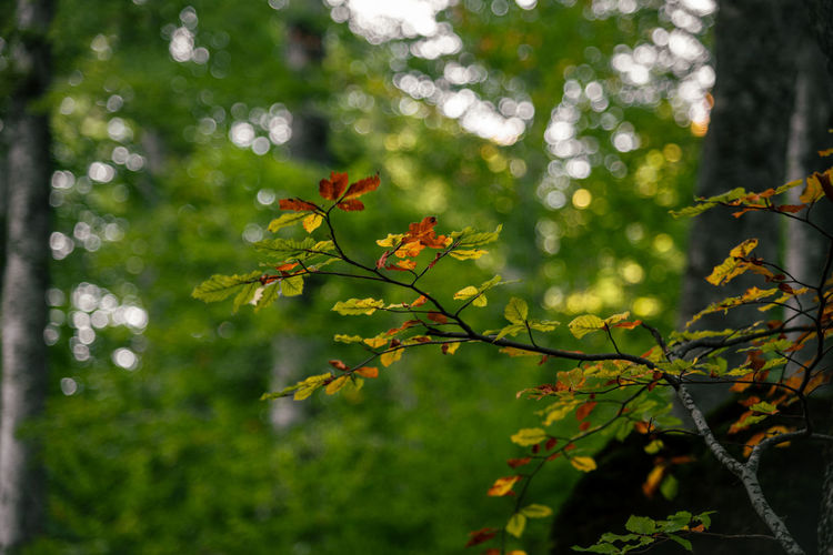 Close-up of maple leaves on branch of tree