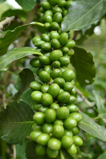 Growing coffee beans Growth Mexico Plant Veracruz Coffeebeans Coffeeplant Leaf Outdoor Photography Outdoors Plantation