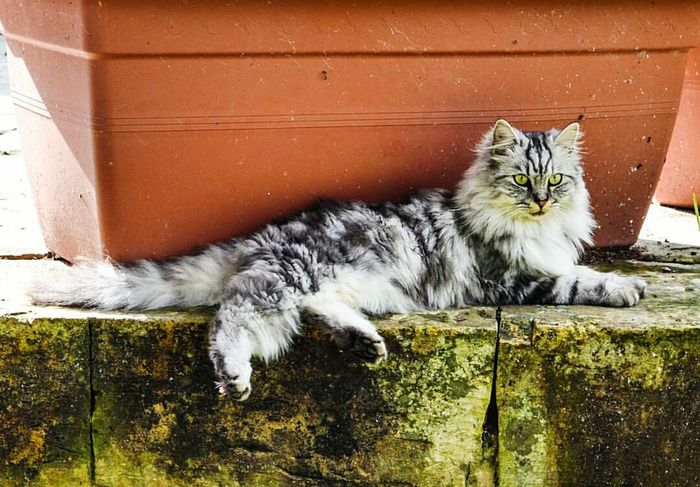 Domestic Cat Pets Domestic Animals Mammal Animal Themes Feline One Animal No People Whisker Cat Maine Coon Cat Day Outdoors Stray Animal