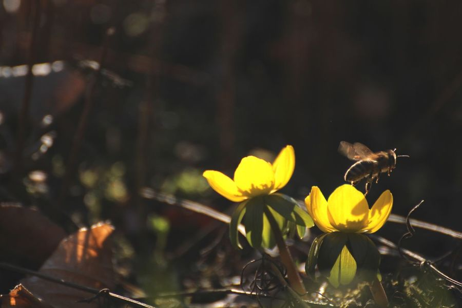 Animal Themes Animal Wildlife Animals In The Wild Beauty In Nature Bee Close-up Day Early Bloomer Flower Flower Head Fragility Freshness Insect Nature No People One Animal Outdoors Petal Plant Pollination Springtime Springtime Blossoms Winter Aconite Yellow