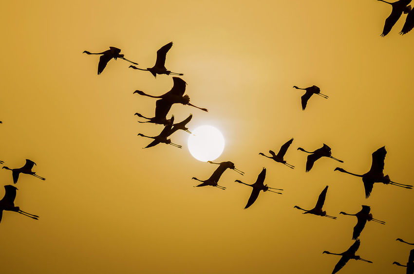 To the Sun Lesser Flamingo Nature Animal Animal Themes Animal Wildlife Animals In The Wild Bird Flamingos Flying Group Of Animals Mid-air Nature No People Orange Color Outdoors Silhouette Sky Sun Sunset