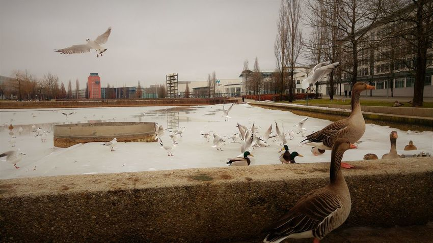 Animal Themes Animal Wildlife Animals In The Wild Architecture Bird Canada Goose Day Duck Geese Goose Greylag Goose Lake Large Group Of Animals Nature No People Outdoors Spread Wings Water Water Bird
