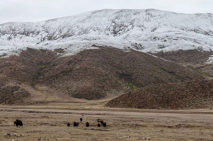 Hit the rock, yack. Mountain Tibet China