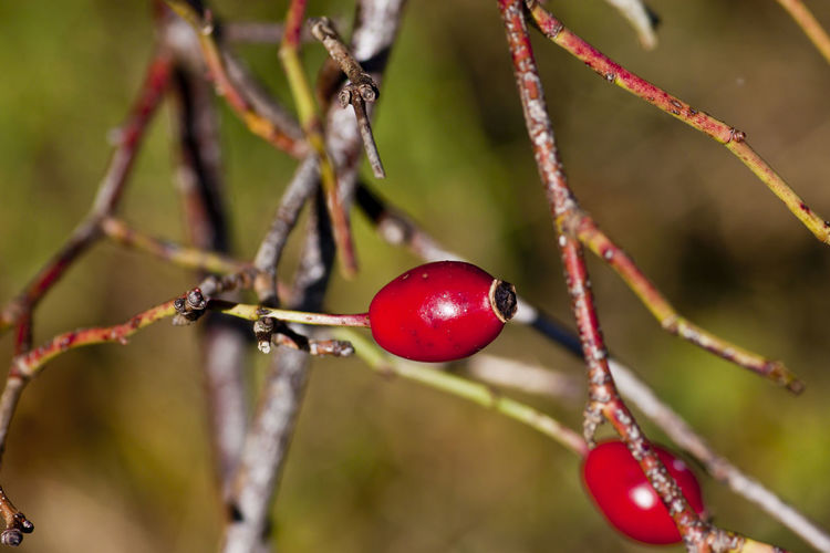 rose hip Brown Background Rose Hip Summertime Tea Beauty In Nature Branch Close-up Day Dog Rose Focus On Foreground Food Food And Drink Freshness Fruit Green Background Growth Nature No People Outdoors Plant Red Rose Hip Summer Tree Twig