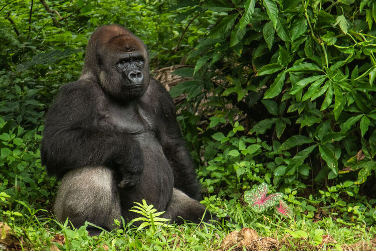 Gorilla in the zoo Mammal Primate Gorilla One Animal Ape Animal Wildlife Nature Plant Sitting Animals In The Wild Vertebrate No People Day Green Color Endangered Species Outdoors