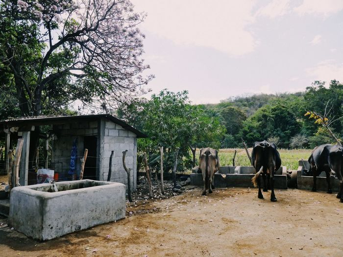 El Corral Guatemala Latin America Animal Themes Architecture Beauty In Nature Building Exterior Day Domestic Animals Landscape Mammal Nature No People Outdoors Sky Tree