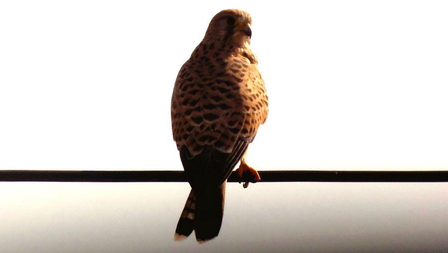 Falkon Falkon Birdwatching Tripoli Libya One Animal Clear Sky Bird Of Prey Bird Photography Birds Of EyeEm  Close-up Bird