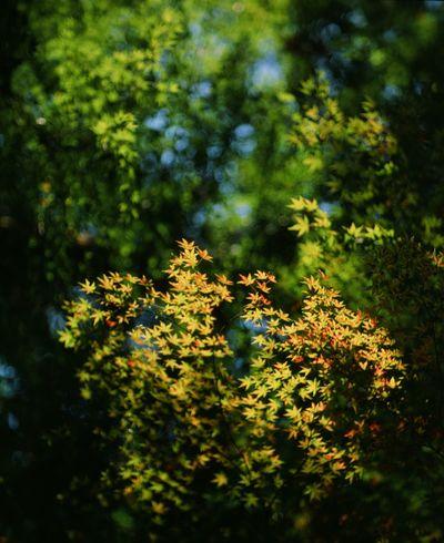 Leaf Leaf 🍂 京都 120Film Filmcamera PENTAX67 Film Photography Lendscapephotography